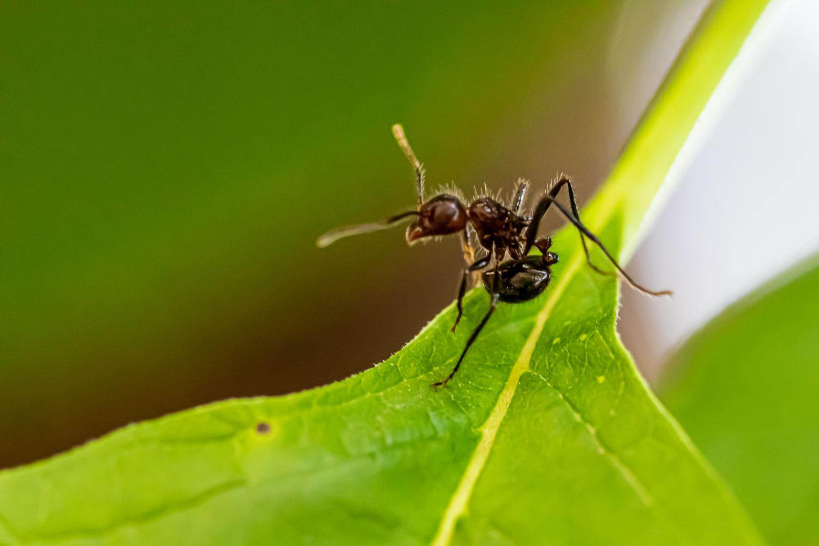Debellare le formiche con interventi mirati